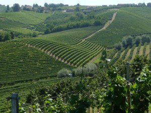 Marchesi di Gresy vineyards