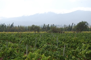 De Martino vineyards