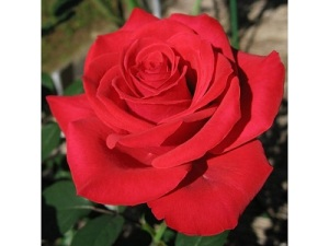 Rose- Vday 2016