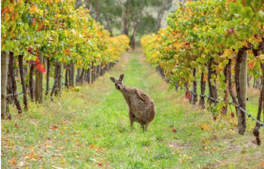 kangarooonanaustralianvineyard