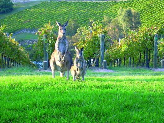 roos_in_vineyard-Australia